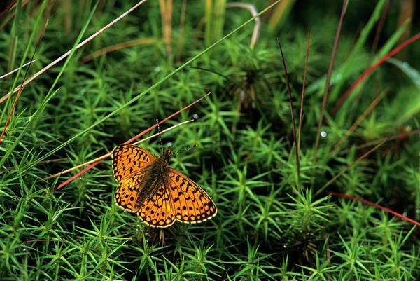 Cairngorms Photograph - Small Pearl-bordered Fritillary Butterfly by Duncan Shaw/science Photo Library
