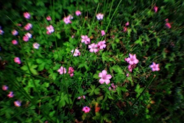 Photograph - Pink Petunias by Doc Braham
