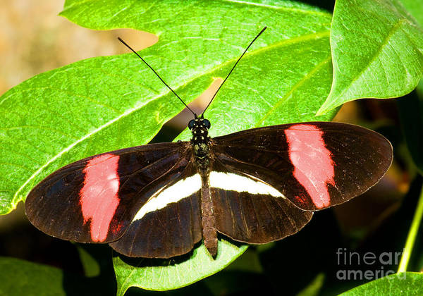 Passion Butterfly Photograph - Small Postman Butterfly by Millard H. Sharp