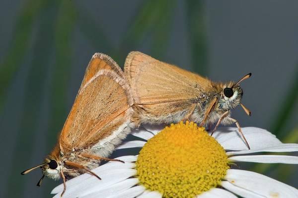 Skipper Photograph - Small Skipper Butterflies Mating by Dr. John Brackenbury/science Photo Library