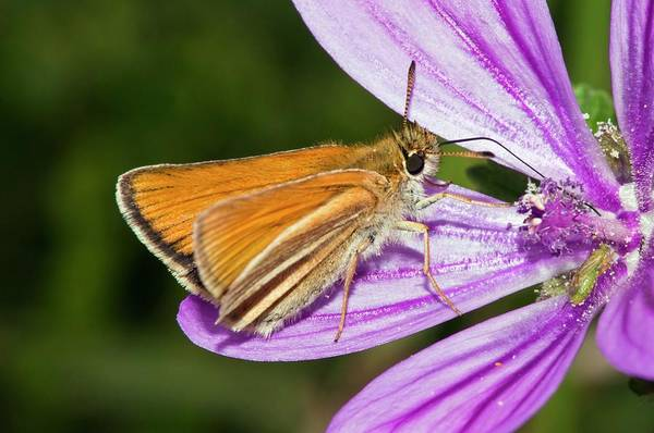 Skipper Photograph - Small Skipper Butterfly On Common Mallow by Dr. John Brackenbury/science Photo Library
