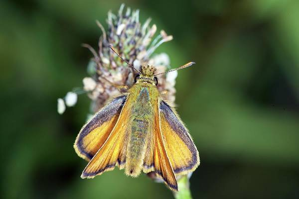 Skipper Photograph - Small Skipper Butterfly by Sinclair Stammers/science Photo Library