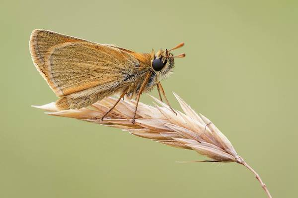 Imago Photograph - Small Skipper by Heath Mcdonald