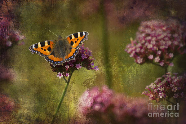 Photograph - Small Tortoiseshell Butterfly by Clare Bambers