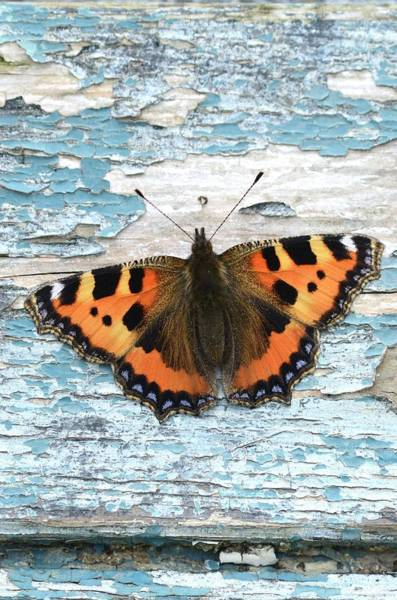 Tortoiseshell Photograph - Small Tortoiseshell Butterfly by Colin Varndell/science Photo Library