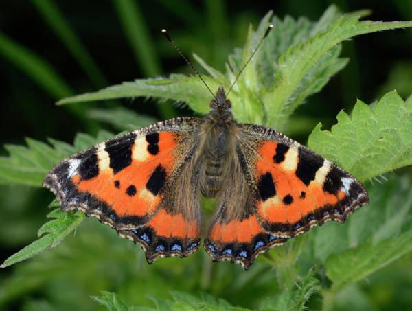 Tortoiseshell Photograph - Small Tortoiseshell Butterfly by Nigel Downer