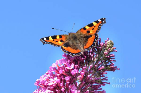 Photograph - Small Tortoishell Butterfly by David Birchall