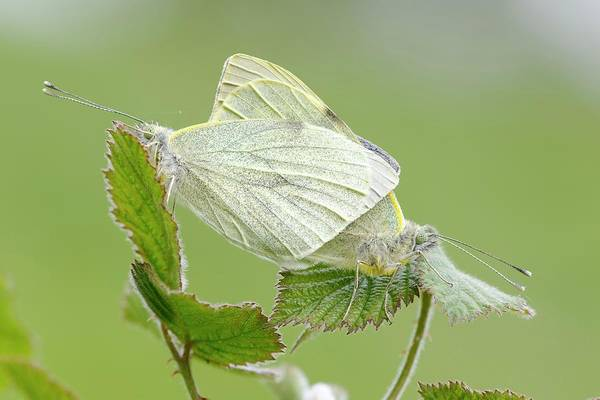 Imago Photograph - Small White Butterfly by Heath Mcdonald/science Photo Library