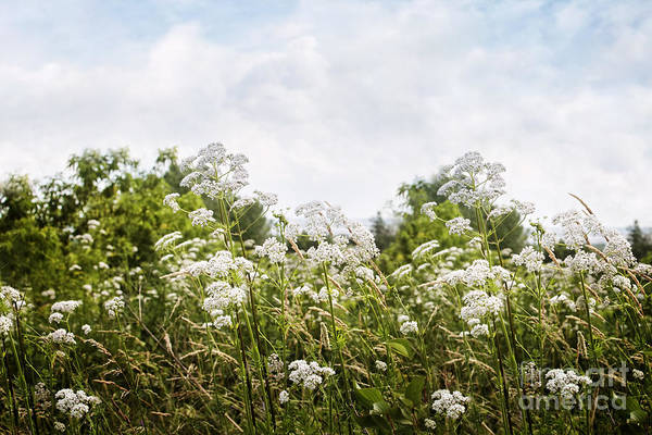 Photograph - Small White Flowers In Field by Sandra Cunningham