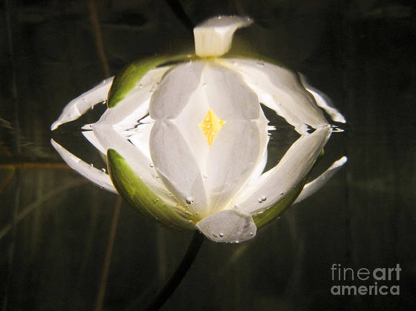 Bwcaw Photograph - Small White Water Lily Reflection by Radiant Spirit Gallery