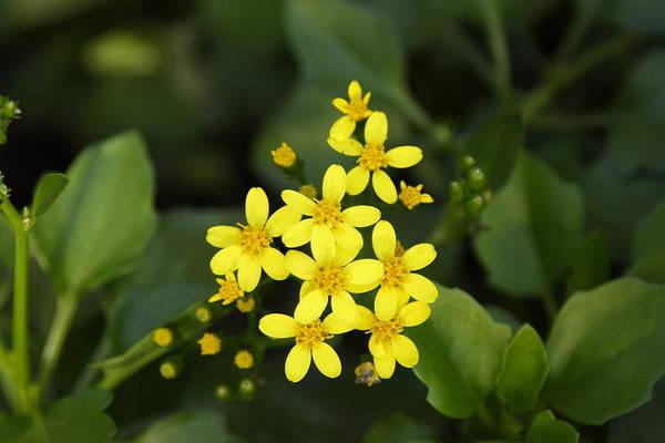 Photograph - Small Yellow Flowers by Goyo Ambrosio