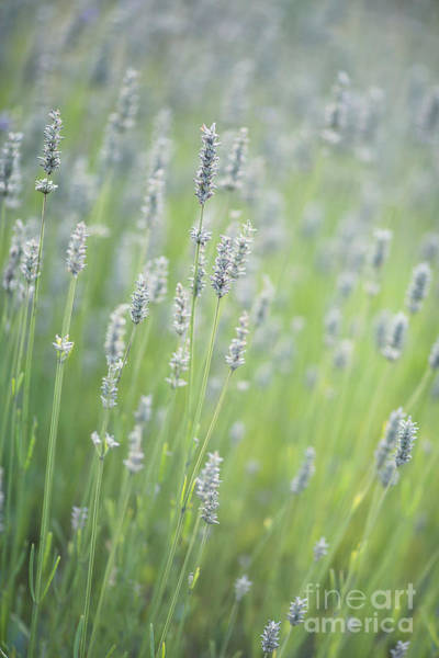 Fragrant Photograph - Smell The Lavender by Rebecca Cozart