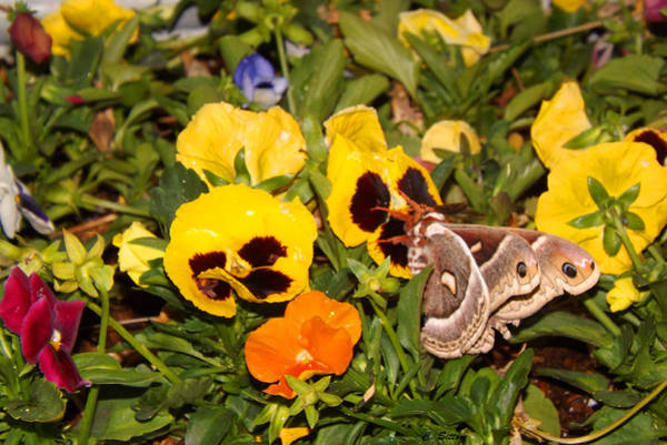 Photograph - Smell The Pansies by C Sitton