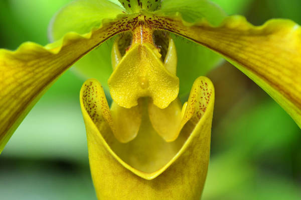 Lady Slippers Photograph - Smile - Orchid Art Photograph By Sharon Cummings by Sharon Cummings