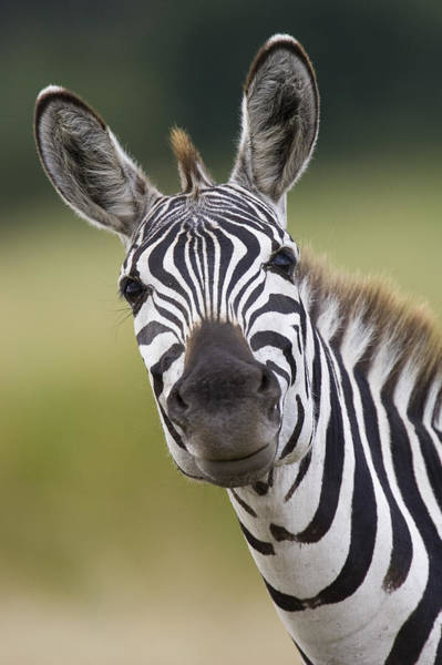 Art Print featuring the photograph Smiling Burchells Zebra by Suzi Eszterhas