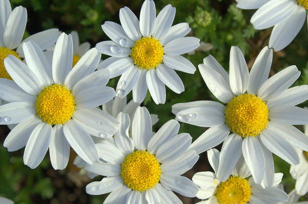 Photograph - Smiling Daisies by Rima Biswas