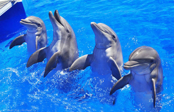 Photograph - Smiling Dolphins by Sheila Kay McIntyre