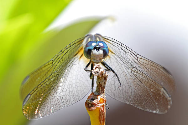 Photograph - Smiling Dragonfly Macro by Peggy Collins