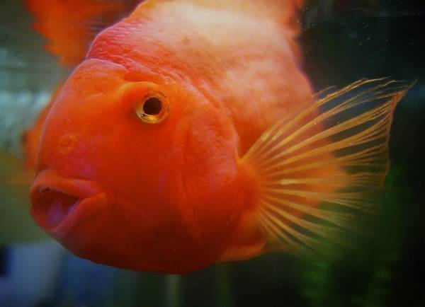 Photograph - Smiling Gold Fish by Joan Reese