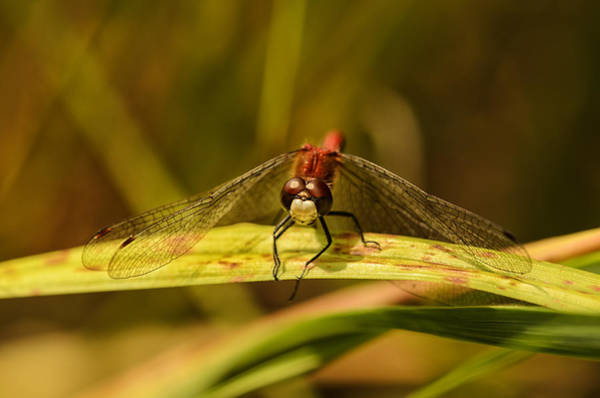 Dragonflies Photograph - Smiling In The Sun by Susan Capuano