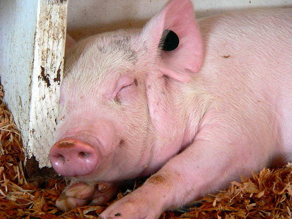 Photograph - Smiling Sleeping Baby Pig by Jeff Lowe