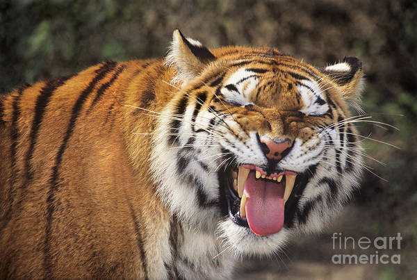 Photograph - Smiling Tiger Endangered Species Wildlife Rescue by Dave Welling