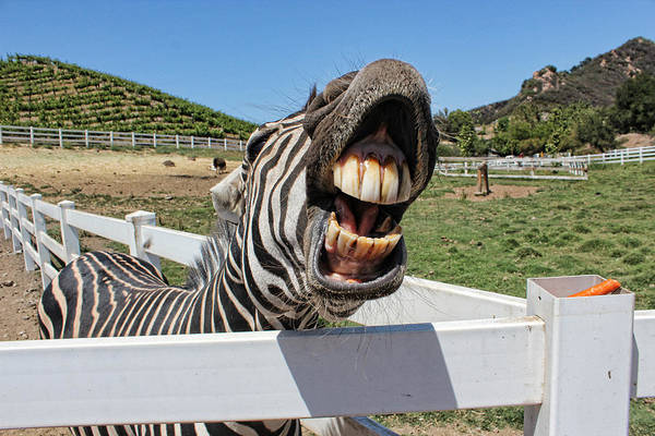 Feed Me Photograph - Smiling Zebra by Helaine Cummins