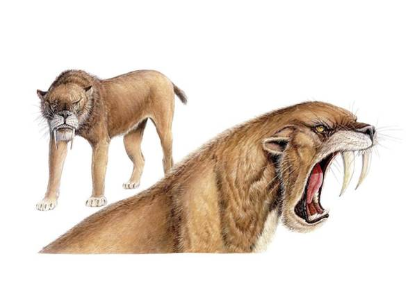 Smilodon Wall Art - Photograph - Smilodon Sabretooth Cat by Michael Long/science Photo Library