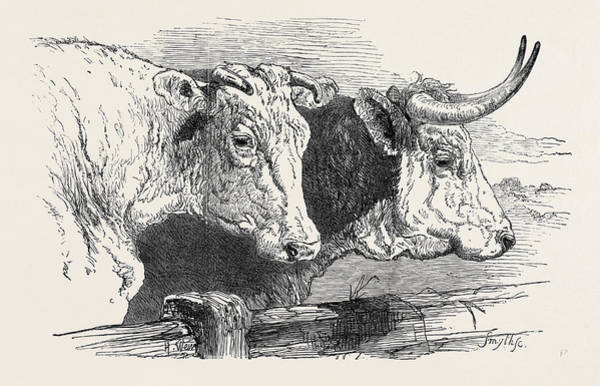 Gold Medal Drawing - Smithfield Club Prize Cattle Show Short Horns by English School