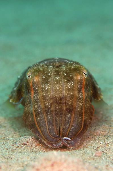 Mabul Photograph - Smith's Cuttlefish by Scubazoo/science Photo Library