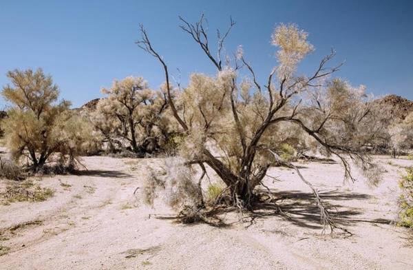 Smoke Tree (psorothamnus Spinosus) Growing Art Print