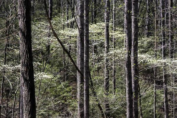 Photograph - Smoky Dogwoods 01 by Jim Dollar