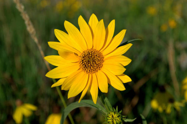 Posterize Photograph - Smooth Oxeye by Mark Hudon