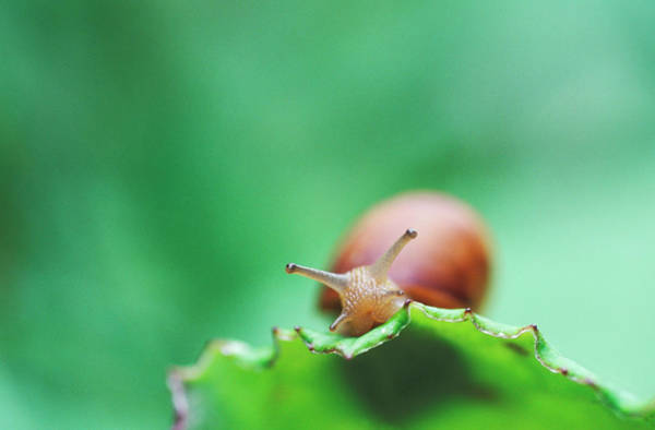 Gastropod Wall Art - Photograph - Snail by Chris Martin-bahr/science Photo Library
