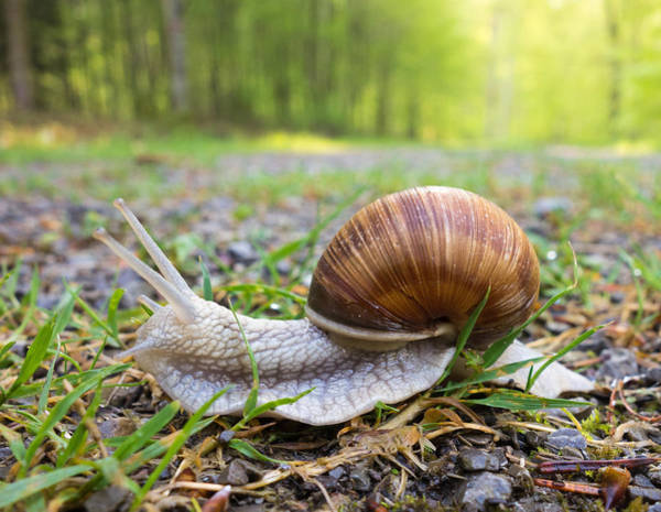 Photograph - Snail Creeping Over A Forest Path by Matthias Hauser