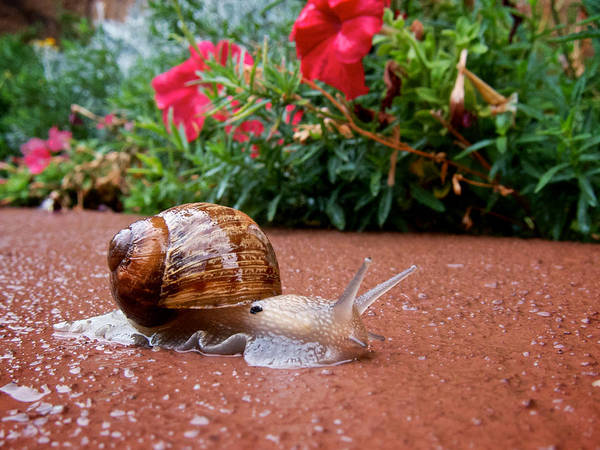 Wall Art - Photograph - Snail In Motion by Mary Lee Dereske