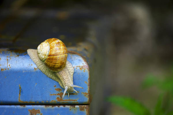 Photograph - Snail by Ivan Slosar