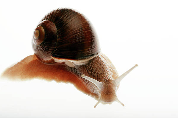 Molluscs Wall Art - Photograph - Snail by Mauro Fermariello/science Photo Library