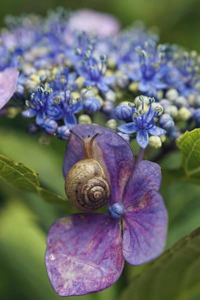 Dicot Wall Art - Photograph - Snail On Hydrangea Flower Japan by Hiroya Minakuchi