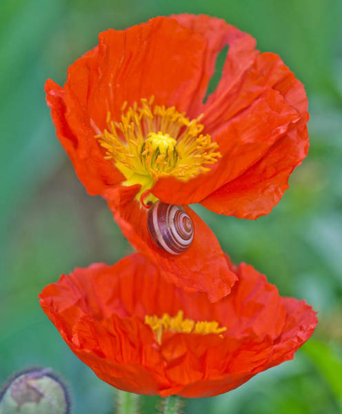 Claude Monet Photograph - Snail On Poppy by Michael Lustbader