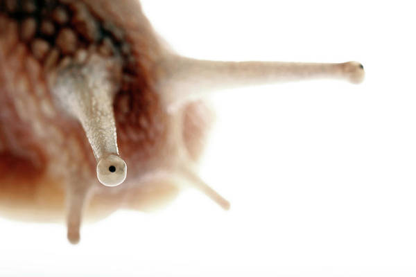 Molluscs Wall Art - Photograph - Snail Tentacles by Mauro Fermariello/science Photo Library