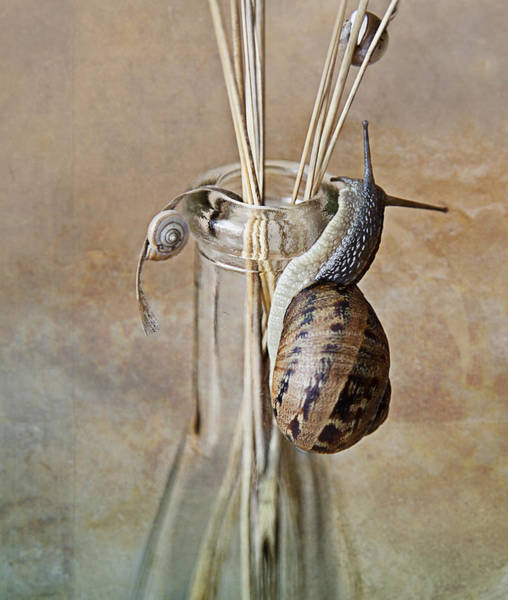 Invertebrate Wall Art - Photograph - Snails by Nailia Schwarz