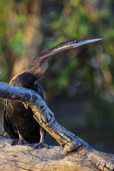 Photograph - Snake Bird - Anhinga by John  Nickerson