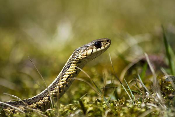 Photograph - Snake Encounter by Christina Rollo