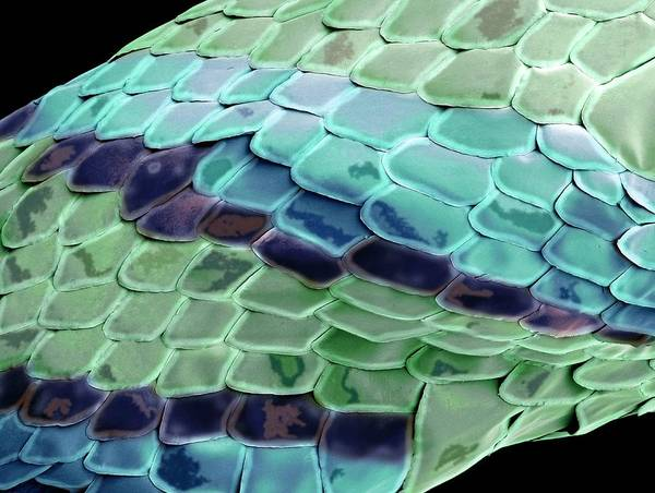Photograph - Snake Skin by Steve Gschmeissner