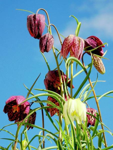 Fritillaria Photograph - Snake's Head Fritillary Flowers by Ian Gowland/science Photo Library
