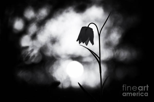 Fritillaria Photograph - Snakes Head Fritillary Monochrome by Tim Gainey