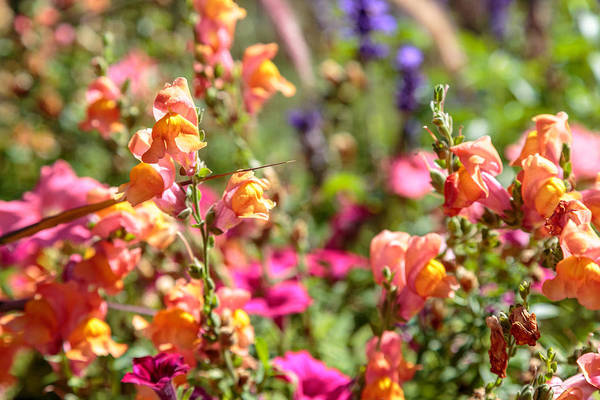 Photograph - Snap Dragons by Susan Leonard
