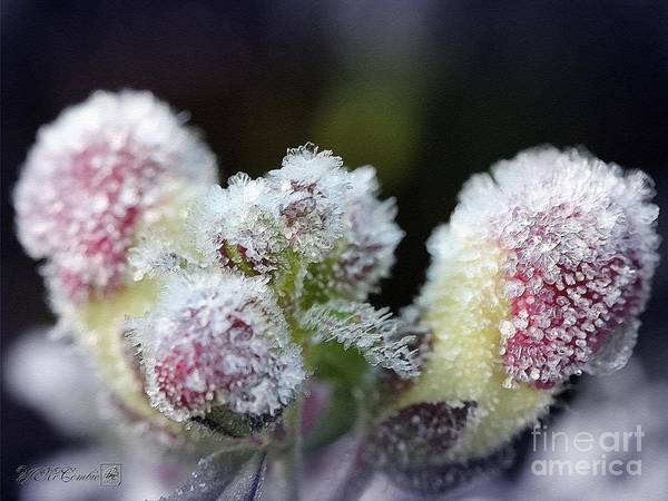 Snapdragons Painting - Snapdragon Buds Wear A Frosty Coat by J McCombie