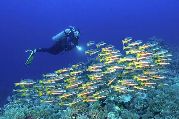 Underwater Diving Photograph - Snappers And Diver - Palau, Micronesia by Global pics